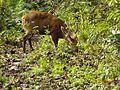 Hungry hog deer.jpg
