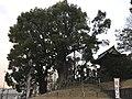 Husband and Wife Camphor Trees of Kitaoka Shrine 2.jpg