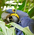 Hyacinth Macaw (Anodorhynchus hyacinthinus) feeding on palm nuts ... (28903441181).jpg