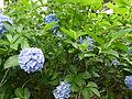 Hydrangea macrophylla Nikko Blue.JPG