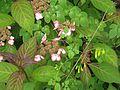 Hydrangea serrata Kiyosumi and Dactylicapnos - Flickr - peganum (2).jpg