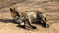 Hyena (37100171164).jpg