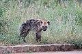 Hyena pup (2247156696).jpg