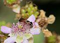 Hylaeus rubicola female 2.jpg