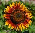 IMG Sonnenblume 8116.jpg
