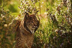 Iberian Lynx endrino03.JPG