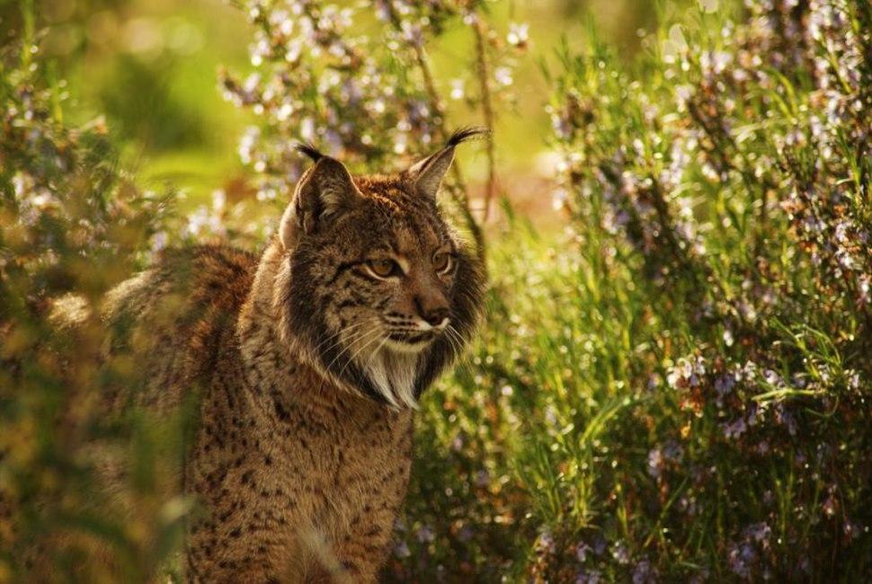 Iberian Lynx endrino03