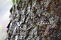 Ibotaga(Brahmaea japonica Butler) (8627229338).jpg