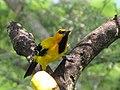 Icterus nigrogularis (Turpial amarillo) (14010914412).jpg