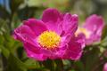 IgnotaPaeonia-20120527i.png