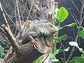 Iguana iguana, Zoo de Vincennes 07.JPG