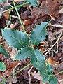 Ilex aquifolium 109001151.jpg