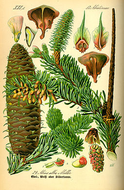 Buds, leaves and reproductive structures of white fir (Abies alba) Illustration Abies alba0.jpg