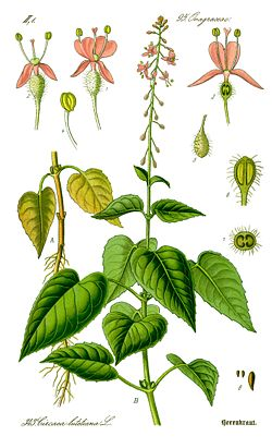 Illustration Circaea lutetiana0 clean.jpg