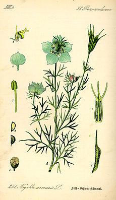 Acker-Schwarzkümmel (Nigella arvensis)
