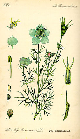Illustration Nigella arvensis0.jpg