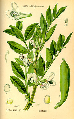 Illustration Vicia faba0.jpg