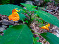 Impatiens capensis - Jewelweed.jpg