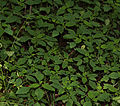 Impatiens capensis and-or pallida SCA-4330.jpg