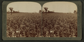 In the great corn fields of eastern Kansas, U.S.A, by Underwood & Underwood 3.png