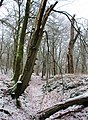In the morning of 5 Februari 2015 there felt some snow. Here a seeping water valley with lots of mushroom trees^ Here some Fomes fomentarius - panoramio.jpg