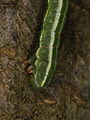 Inchworm from the Bavarian Forest (7817495282).jpg