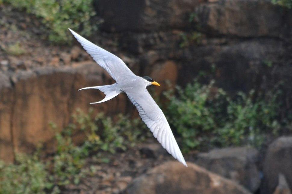 Indian-River-Tern