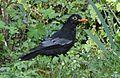 Indian Black Bird.jpg