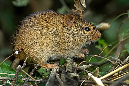 Indian Bush Rat at Keoladeo National Park, Bharatpur, India.jpg