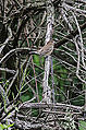 Indigo Bunting Female (Identified) (8954948423).jpg
