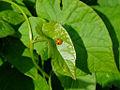 Insect ladybird 20070619 0072.jpg