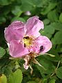 Insects on a wild prairie rose.JPG