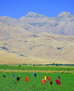 Agriculture is the main occupation of the people. Iraqi Kurdish villagers in field near Turkish border.jpg