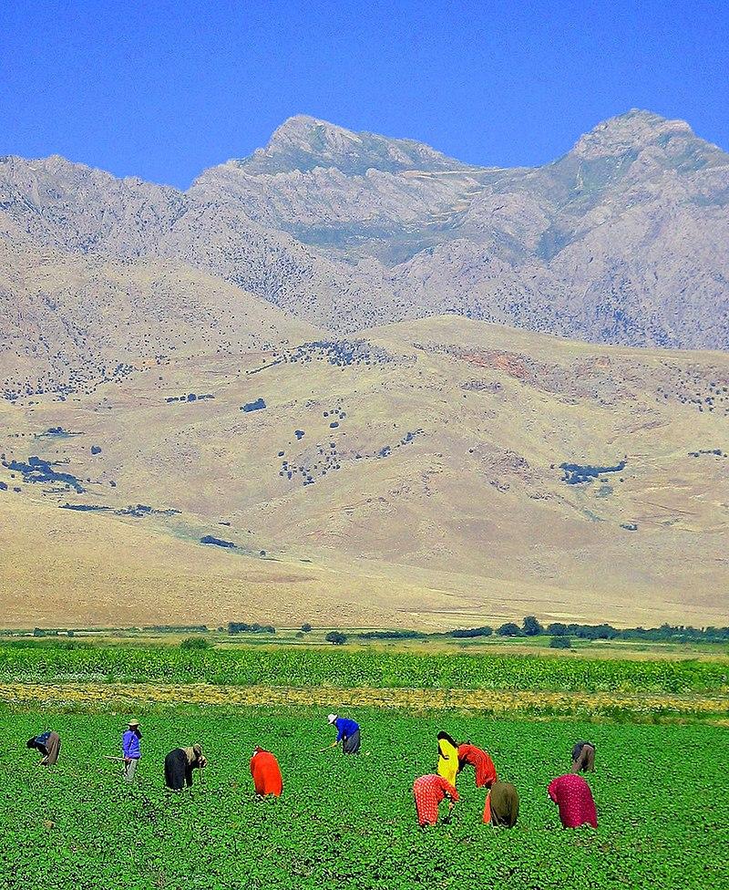 Iraqi Kurdish villagers in field near Turkish border.jpg
