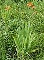 Iris domestica s4.jpg