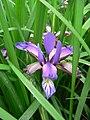 Iris graminea 2007-05-13 398.jpg