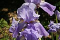 Iris pallida Variegata 1zz.jpg