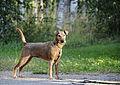 Irish Terrier 4.jpg