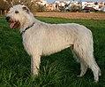 Irish wolfhound giaccomo.JPG