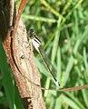 Ischnura graellsii. Iberian Bluetail - Flickr - gailhampshire.jpg