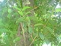Jaam tree3.JPG