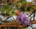 Jacaranda (Jacaranda mimosifolia) fruit in Hyderabad W IMG 7059.jpg