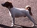 Jack russel terrier08.jpg
