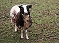 Jacob Sheep, Shortwood - geograph.org.uk - 1347424.jpg