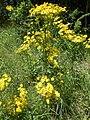 Jacobaea vulgaris - Dordogne 09.jpg