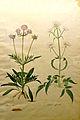 Jacopo Ligozzi Valeriana phu Valeriana officinalis.jpg