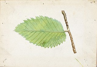 Jagged Leaf Edge Caterpillar, study for book Concealing Coloration in the Animal Kingdom