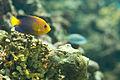 Japanese Pygmy Angelfish.jpg