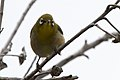 Japanese White-eye Kona.jpg