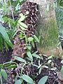 Jardin des pantes Paris Vanilla planifolia.JPG
